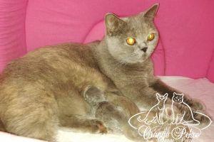 Подробнее: У нас снова пополнение, британские котята от пары Нелли и Мышь