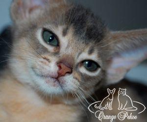 породные абиссинские котята