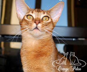 абисссинская кошка