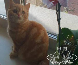 british cat Y`Michelle