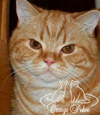 британский кот производитель