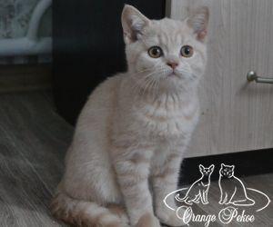 британский котенок кремового окраса