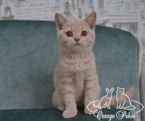 британский кремовый котенок