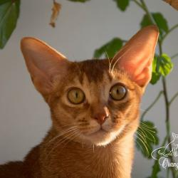 Abyssinian female cat