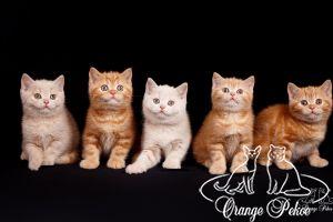 Read more: Brittish kittens - litter C