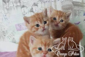 Read more: Brittish kittens - litter D