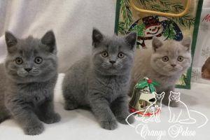 Read more: Brittish kittens - litter E