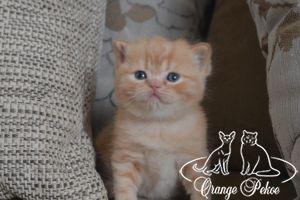 Read more: Brittish kittens - litter P