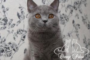 Read more: Brittish kittens - litter S