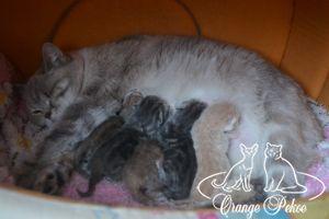 Read more: Brittish kittens - litter T