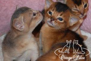 Подробнее: У нас в питомнике родились абиссинские котята