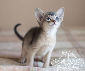 c_300_250_16777215_10_images_kittens_abi_pomet-u__DSC7845.-1jpg.jpg