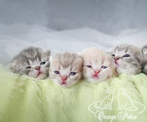 c_300_250_16777215_10_images_kittens_bri_pomet-c_anrishata2.jpg