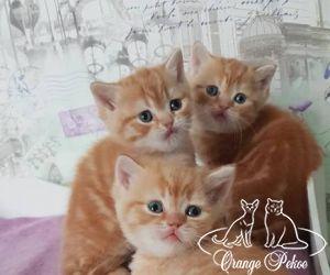 red british kittens