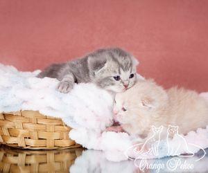 c_300_250_16777215_10_images_kittens_bri_pomet-e2_eshki3.jpg